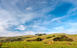 Hochlandkühe auf einem Feld, Kalifornien Lizenzfreie Stockbilder