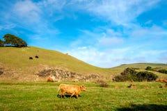 Hochlandkühe auf einem Feld, Kalifornien Stockfotografie