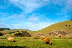 Hochlandkühe auf einem Feld, Kalifornien Stockbilder