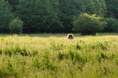 Hochlandkuh, die Gras auf einem Gebiet isst stockbild
