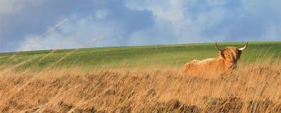 Hochlandkuh, die im grasartigen Heidemoor niederlegt lizenzfreies stockfoto
