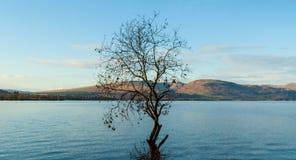 Hochlandlandschaft: ein Baum, der in einem schottischen Loch wächst. lizenzfreie stockfotografie