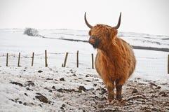 Hochlandstier im Schnee Lizenzfreies Stockfoto