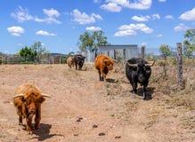 Hochlandvieh in Australien Lizenzfreies Stockfoto