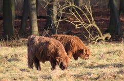 Hochlandvieh calfs Stockfotografie
