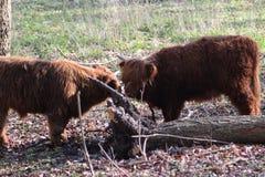 Hochlandvieh calfs Stockfoto