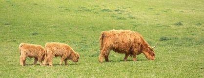 Hochlandvieh Kuh und Kälber Lizenzfreie Stockfotos
