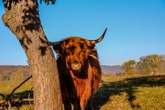 Hochlandviehporträt - alte schottische Kühe züchten und lassen in Bergen Slowakei Tatra weiden lizenzfreies stockbild