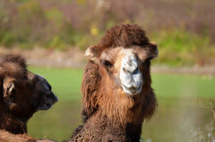 Hochnäsiges Bactrian Kamel Lizenzfreie Stockfotos