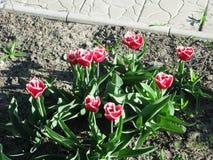 Hochrot eingesäumte Tulpen stockbilder