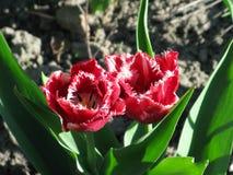 Hochrot eingesäumte Tulpen lizenzfreies stockbild