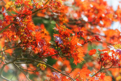 Hochrote Ahornblätter im Frühjahr Stockfotografie