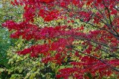 Hochrote Blätter eines Ahorns Lizenzfreies Stockfoto