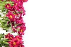 Hochrote Chrysanthemen auf der Seite auf weißem Hintergrund mit Kopienraum lizenzfreies stockfoto