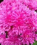 Hochrote Chrysanthemen der Nahaufnahme, wenige Makroblumen stockfotos