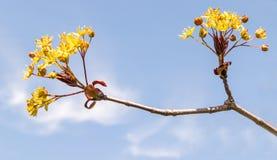 Hochrote Gelbblumen Königs Maple Tree Stockbilder