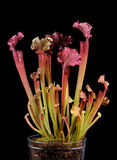 Hochrote Kannenpflanze Stockbild