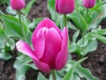 Hochrote Tulpe von Stockbild