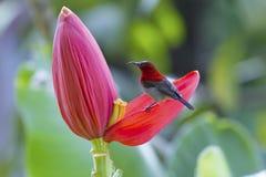 Hochrotes sunbird Lizenzfreies Stockfoto