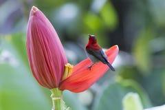 Hochrotes sunbird Lizenzfreie Stockbilder