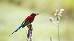Hochrotes sunbird in Bardia, Nepal Stockbild