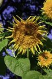 Hochsommer-Sonnenblume Lizenzfreies Stockbild
