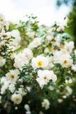 Hochsommer stieg in volle Blüte stockfoto