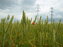 Hochspannungslinien über dem Feld des grünen Weizens Lizenzfreies Stockfoto