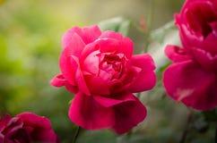 Hochzeitsblumenstrauß der roten Rosen stockfoto