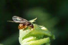 Hochzeitsflug der Ameisen Royalty-vrije Stock Afbeeldingen