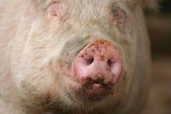 Hocico de un cerdo Fotos de archivo libres de regalías