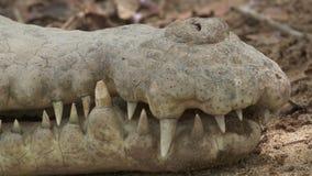 Hocico del cocodrilo del Orinoco, Wisirare, Colombia almacen de video