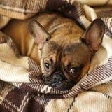 Hocico del dogo francés del perro soñoliento debajo de la manta en la cama fotografía de archivo