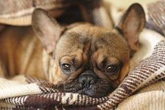 Hocico del dogo francés del perro soñoliento debajo de la manta en la cama imagen de archivo libre de regalías