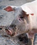 Hocico grande del perfil del cerdo Fotos de archivo libres de regalías