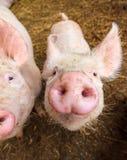 Hocicos del cerdo Fotografía de archivo