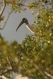 Hockender hölzerner Storch gestaltet durch Niederlassungen in den Florida-Sumpfgebieten lizenzfreies stockfoto