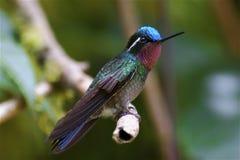 Hockender Kolibri stockbilder