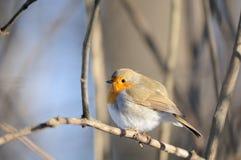 Hockender Robin im Winter Lizenzfreies Stockfoto