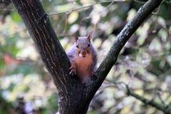 Hockendes graues Eichhörnchen Stockfoto