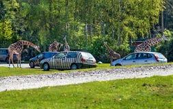 Hodenhagen, Alemanha - 30 de abril de 2017: Os girafas aproximam carros no parque de Serengeta, Alemanha Imagens de Stock