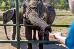 Hodenhagen, Allemagne - 30 avril 2017 : Éléphant de alimentation de touristes en parc de Serengeti, Allemagne Photos stock