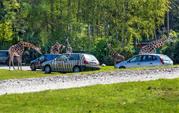 Hodenhagen, Allemagne - 30 avril 2017 : Les girafes s'approchent des voitures en parc de Serengeta, Allemagne Images stock