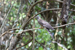 The Hodgson's Hawk-Cuckoo, Cuculus fugax is a species of cuckoo Stock Photo