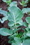 hodować brokułów Obrazy Royalty Free