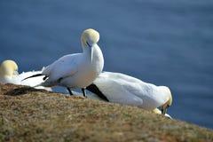 Hodować Gannets w Helgoland zdjęcia royalty free