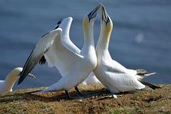 Hodować Gannets w Helgoland zdjęcie royalty free