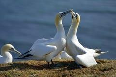Hodować Gannets w Helgoland Obrazy Royalty Free