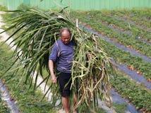 Hodowca praca w truskawkowym ogródzie Zdjęcie Royalty Free