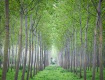 hodowlani drzewa Fotografia Stock